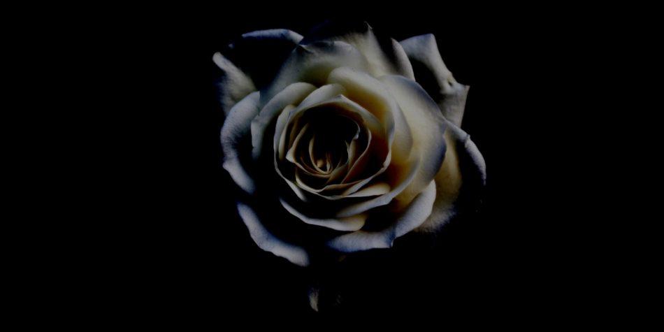 white rose black background