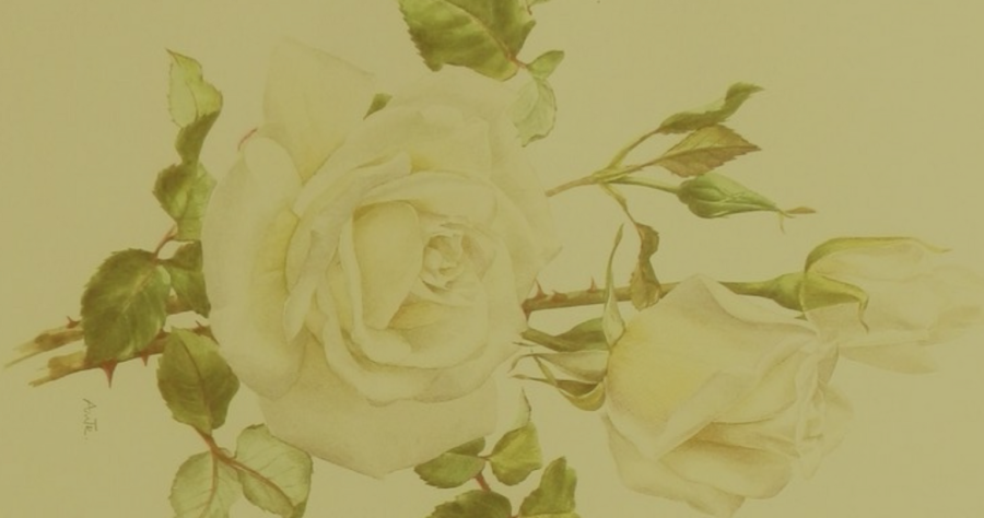 botanical drawing of white rose with olive overlay
