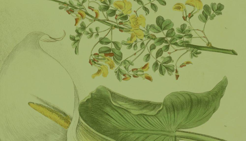 Botanical illustration of a calla lily